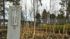 Myyrien syömiä omenapuita Oulun kaupungin taimistolla