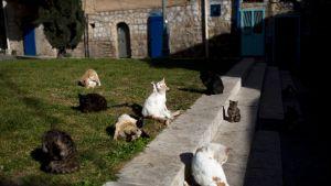 Kahdeksan kissaa. Osa kissoista pesee itseään.