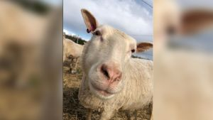 Laitumella oleva lammas katsoo suoraan kameraan.