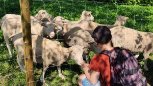 Ihminen katsomassa lampaita