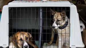 Rescue-koiria häkissä.