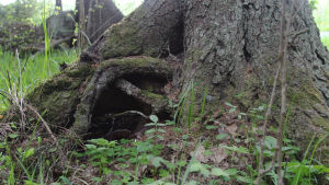 Puun juurionkalo