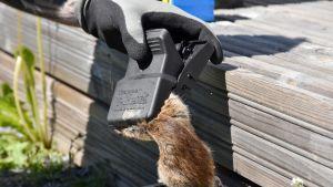 Anticimexin loukuttama kuollut rotta.