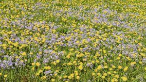 Voikukkia ja luhtalitukoita niityllä Norjan Tysnesissä.