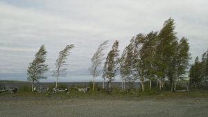 Puut taipuvat kovassa tuulessa.