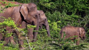 Norsulauma Sri Lankassa.