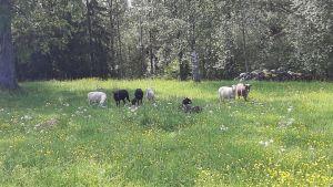 Seitsemän lammasta kedolla.
