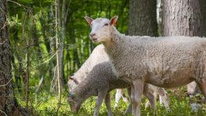 Lampaita Ärjänsaaressa