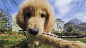 Lenny-niminen kultainennoutaja yhdeksän viikon ikäisenä.