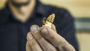 Mehiläinen miehen kädessä