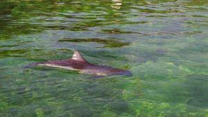Pyöriäinen on ainoa Itämerellä säännöllisesti esiintyvä valaslaji, ja sen kannan kooksi arvioidaan noin 500 yksilöä.