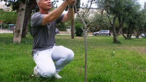 Teemu Lehtinen istuttaa oliivipuuta
