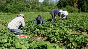Ukranalaiset mansikanpoimijat  Holopaisen Tilalla Lemillä 2019