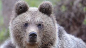 Pyöreäkasvoinen karhu katsoo suurin silmin kameraa kohti
