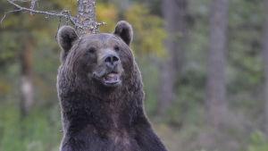 Lähes musta karhu seisoo ja katsoo kameran ohi