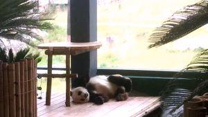 Pandauros Pyry viettää 6-vuotissyntymäpäiväänsä keskiviikkona 10. heinäkuuta 2019.