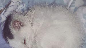 Löytökissoilla on monesti sairauksia löydettäessä. Myös Hilla-kissatyttö vaati huolellista hoitoa.