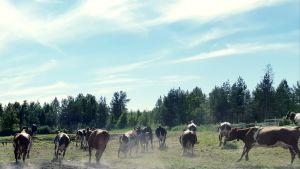 Lypsylehmiä maatilalla Rovaniemen Vikajärvellä.