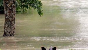 Sarvikuono ui tulvavedessä Intiassa.
