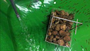 Nämä virikekasvatetut taimenet ovat vain kaksi senttimetriä pitkiä ja painavat ehkä gramman.