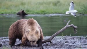 Karhu möyrii mutaisessa maassa. Karhun takana on joki jossa näkyy uivan toinen karhu.