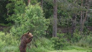 Karhu runteli turistien auton Kuusamossa.