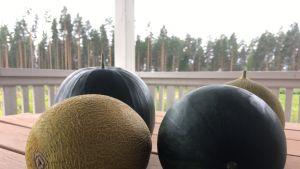 Mikkelin Haukivuorella kasvaneita meloneita.