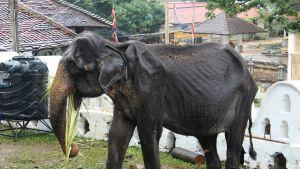 70-vuotias elefantti.