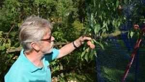 Puutarhaneuvos Arno Kasvi persikkapuun lähellä.