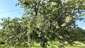 Ähtärin Rämälänkylällä kasvava yli 120-vuotias puu on kasvatettu vienankarjalaisilta kulkukauppiailta saadun omenan siemenestä. Puu on yksi suomalaisten paikallislajikkeiden emopuista.