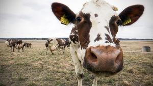 Jalasjärveläisen Luopajärven tilan lehmien laidunkausi alkoi tänään.
