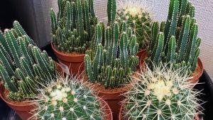Pieniä kaktuksia ruukuissa