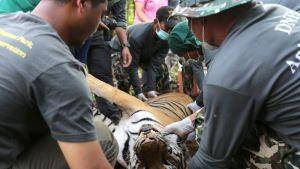 Nukutettua tiikeriä kannetaan pois temppelistä.