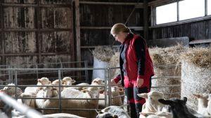 Helena Pesonen aitauksessa lampaiden kanssa.