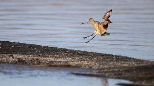 Ruostekuiri laskeutuu Salton Sea Laken rannalle Kaliforniassa.
