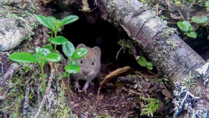 Metsämyyrät levittävät myyräkuumetta, joka voi tarttua ihmiseen. Niiden pohjoisraja menee Inarin korkeuksilla