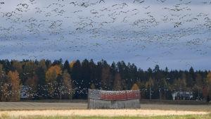 Hanhet kokoontuivat syysmuuttoon Paijalan kylässä Tuusulassa 6. lokakuuta.