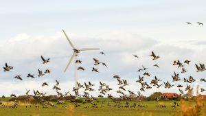 Valkoposkihanhiparvi ruokailee pelloilla ja taustalla näkyy tuulivoimala.