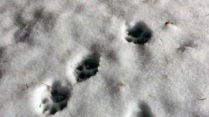 Koiran tassun jälkiä lumessa.