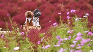 Koiria kesäsypressiniityllä Hitatchi Seaside Parkissa Hitachinakassa Japanissa.