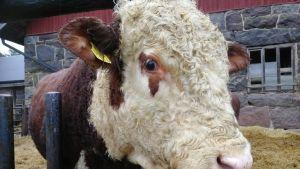 Riilahden kartanon hereford-rotuiset siitossonnit painavat noin tuhat kiloa.