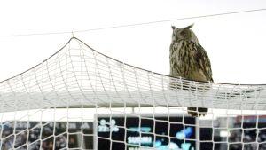 Olympiastadionilla asusteleva Bubi huuhkaja (Bubo bubo) .