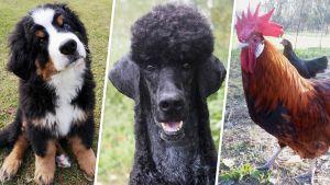 Julkkisten mukaan nimettyjä eläimiä. Arttu Viskari, Iso Arska ja Daavid Hasselhoff