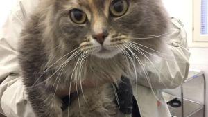 Pitkäkarvainen kissa eläinlääkärissä.