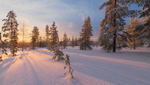Lunta Rovaniemellä metsässä.