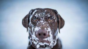 ruskea labbis, jolla lunta naamassa