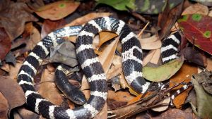 Mustavalkoinen käärme makaa kuivien lehtien seassa maassa.