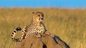 Gepardi makaa kivellä savannimaisemassa.