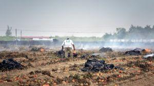 Tomaattisatoa tuhotaan Floridassa huhtikuussa 2020.