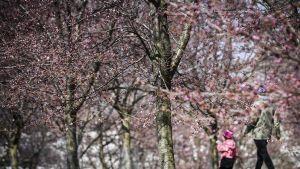 Ulkoilijoita Roihuvuoren kirsikkapuistossa Helsingissä 2. toukokuuta.